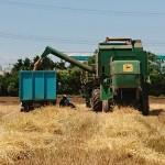 小麦をダンプ移す
